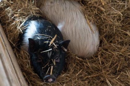 Schweine im Dorf